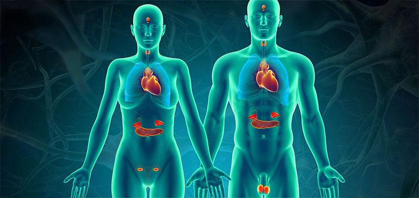 Расположение органов, отчвечающих за гормоны