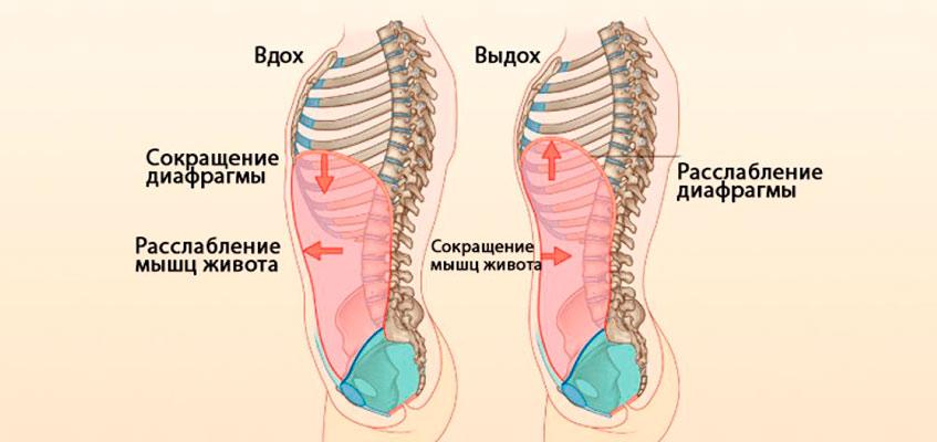 Схематичное изображение брюшного дыхания